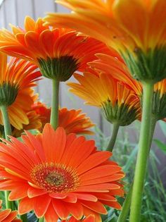 Gerbera daisies.... Love how big and bold they are yet so sweet and simple!! This orange is amazing!