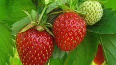 Strawberry, Fruit, Hub, Gardening, Lawn And Garden, Strawberry Fruit, Strawberries, Horticulture, Strawberry Plant