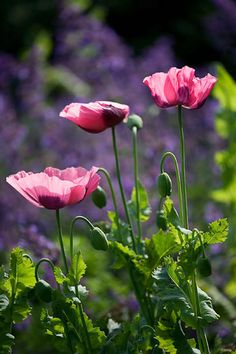 Pink Poppies - I love Poppies! I have a ton of them in my garden and they multiply so well.