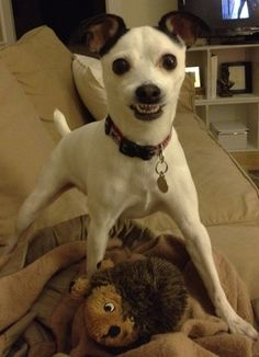 Your smiling dogs - Jack Russell Terrier