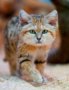 The Sand Cat, a Small But Fierce Desert Wild Cat | Canidae Blog