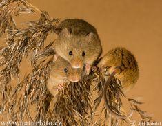 Europese dwergmuis - Micromys minutus