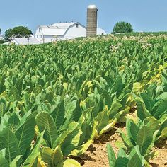 Growing Tobacco on a Small Scale