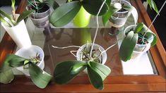 Pred pol rokom bola moja orchidea na vyhodenie: Stačila len 1 zmena a hneď nahodila puky - odvtedy mi kvitne nonstop! Plants, Plant, Planets