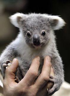 Bucket list: Holding a baby KoalaBear!