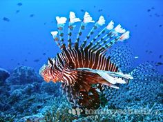 Lion fish underwater photography