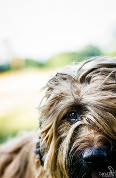 Briard (by Cat's Dog Photography)