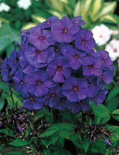 Nicky Hardy Tall Phlox - Immense Purple/Pink Blooms - Live Plant - Quart Pot