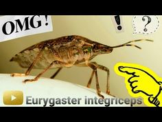 Eurygaster integriceps 2020 (Hemiptera, Scutelleridae) Shield Bugs, Youtube, Youtubers, Youtube Movies