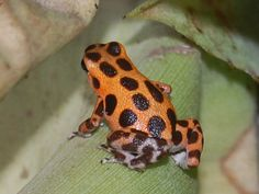 Oophaga pumilio - Bastimentos, Panama. by Sky and Yak, via Flickr