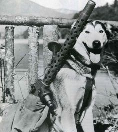 "A sled doggie named ""Mukluk"" is being trained to carry machine guns in case of a Japanese invasion of Alaska, World War II."