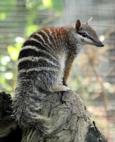 Numbats! Fascinating info about a very unique Australian marsupial, which unfortunately is critically endangered, although thankfully some good humans are fighting for their protection and survival. See: http://www.pawmanefin.com/Meet_The_Numbat_Endangered_Species_and_Emblem_of_Western_Australia