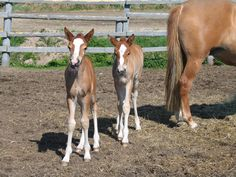 Twin Finnhorse foals Vingerpori and Maisakaarina, aged 13 days. Majestic Horse, Kittens Playing, Horse Breeds, Zebras, Beautiful Babies, Animal Pictures, Twins, Cute Animals, Horses