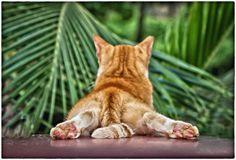 Gato Sanjuanero (San Juan Cat)   von SamyColor