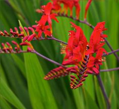 crocosmia - Google Search