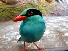 Common Green Magpie Found in India to southeast Asia, Malaysia.