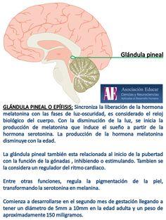 Glándula pineal o epífisis. - Asociación Educar - Ciencias y Neurociencias aplicadas al Desarrollo Humano - www.asociacioneducar.com