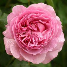 Rosen online kaufen | Princess Alexandra of Kent | rosenpark-draeger.de