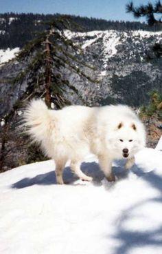 Races de chiens: Samoyède - Frawsy