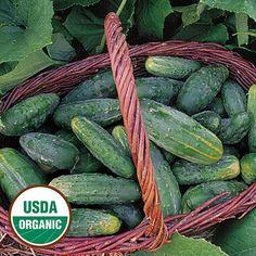 Garden 2016 - Bushy Organic Cucumber - Seed Savers Exchange