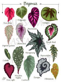 Plante Alocasia, Alocasia Plant, Garden Plants, Indoor Plants, Indoor Gardening, Decoration Plante, Plant Illustration, Houseplants, Planting Flowers