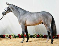 Holsteiner stallion Clarcon at his Holsteiner Verband approval test.