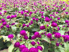 gomphrena buddy purple - Google Search Wheelbarrow Planter, Planters, Google Search, Purple, Plant, Window Boxes, Viola, Pot Holders, Flower Planters