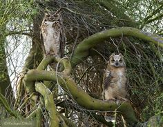 Google Image Result for http://richditch.files.wordpress.com/2009/06/great-horned-owl-086a-720.jpg%3Fw%3D720%26h%3D562