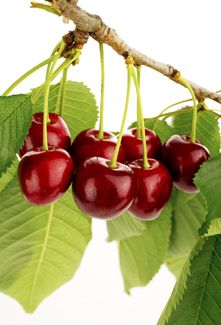 Tulare Cherry Tree - Sweet Cherry Trees   Tart Cherry Trees   Low Chill Cherries - Willis Orchard Company