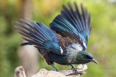 New Zealand Tui about to take flight Tui Bird, Owl Tattoo Design, Tattoo Designs, Black And Grey Tattoos, Tattoo Black, Bird Drawings, Small Birds, Exotic Birds, Beautiful Birds