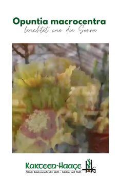 Opuntia macrocentra - leuchtet wie die Sonne 🌞❤🌵  #kakteenhaage #kaktusgaertner #Blumenstadt #wirliebenkakteen #cactuslove #haagelife #kaktus #cactus