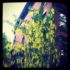 #fortgreene #brooklyn #nyc #newyork #newyorkcity #yellow #flowers #floral #florals #quiet #peaceful #spring #picoftheday #photooftheday #brownstone #archilovers #architecture