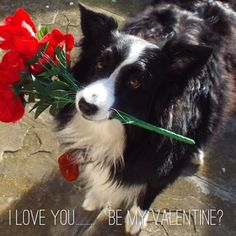 Would love to see you again if only for just a day Border Collie