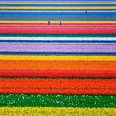 Plantação de tulipas - Holanda