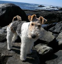 You want that on the rocks? My Baxter's tail is just like this dogs tail! Fox Terriers, Chien Fox Terrier, Wirehaired Fox Terrier, Welsh Terrier, Terrier Breeds, Wire Fox Terrier, Dog Breeds, Cute Puppies, Cute Dogs
