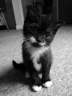 cute tuxedo kitten has a mustache