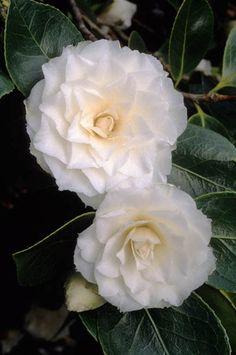 Camellia japonica 'Margarette Hertrich' Fotografia de John Glover, uno de los primeros y de los mas importantes fotografos de jardin del Reino Unido