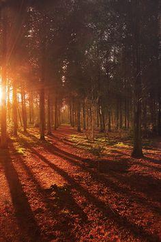 森林, 日の出, 風景, 自然, 太陽, 光, 日光, 日没, シーズン, ツリー, 屋外, シーン, 朝