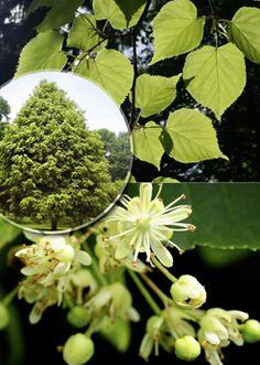 Seeds of Deciduous Fruit Seeds, Herb Seeds, Aquatic Plants, Planting Seeds, Shrubs, Garden Ideas, Dandelion, Catalog, Trees
