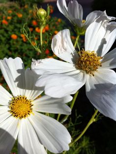 Daisies in our front yard. These daisies have four foot stems and survive daily 110 temps in the hot AZ weather.
