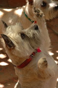 Who wants a treat? Yo, right here! - @Terri Osborne McElwee Osborne McElwee Osborne McElwee Baxter Terrier