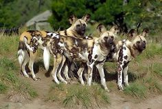 These are part of a group of 7 females which are a holding group at Orana Park. Christchurch New Zealand. Each dog has her own individual markings. Hunting Dogs are the 2nd fastest running land animal after the cheetah.
