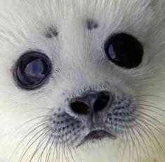 Ringed Seal Pup