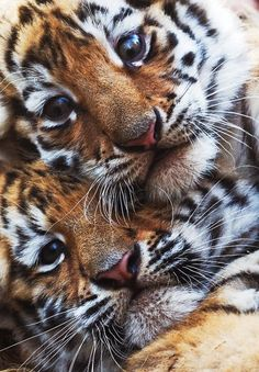 What sweet little faces.  I have always wanted to hug a baby tiger