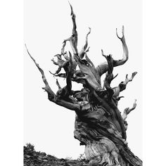 Bristlecone Pine: Eastern Sierra By Andrew Quist Bristlecone Pine, Jolie Photo, Nature Images, Mother Earth, Beautiful World, Art Photography, Artsy, Black And White, Artwork