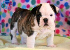 Chucky English Bul Chucky English Bulldog Puppy For Sale