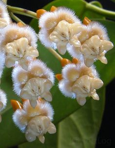 Hoya Lasiantha, found in Peninsula Malaysia and Borneo - has larger golden flowers with prominent corona protruding like eroded molars. Under suitable lighting, the white hairs seem to emit a silver glow.