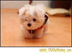 toy Maltese puppy <3
