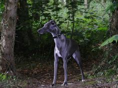 they are not common but sometimes you see one, like the one I saw at our Greyhound fundraiser. Nice Dogs, I Love Dogs, Best Dog Breeds, Best Dogs, Racing Dogs, Greyhound Pictures, Afghan Hound, Lurcher, Grey Hound Dog