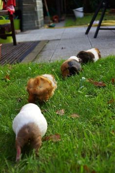 PIGGIE TRAIL! The two last ones look like my two guinea pigs, Scruffy in the back (white with brown), Fluffy in front of her (tan, white, brown, black).